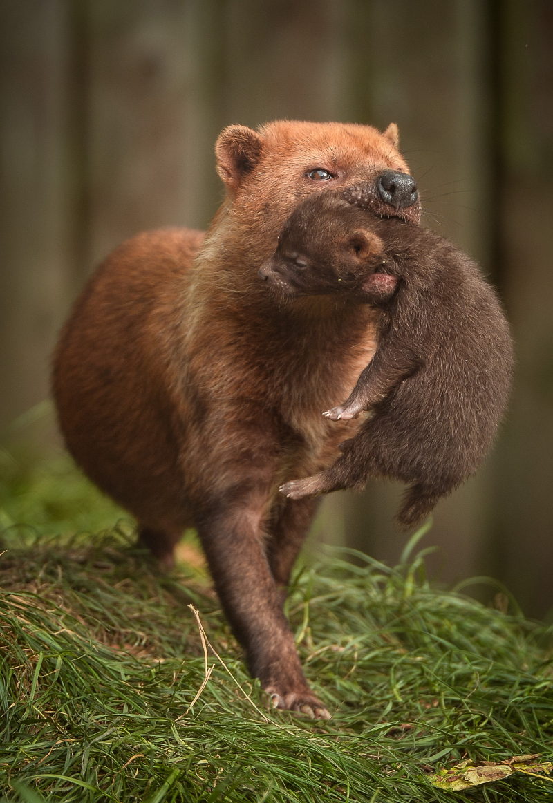 Two litters of bush dog pups have been born and started to venture outside for the first time at Chester Zoo (57)