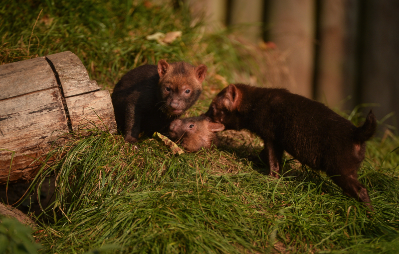 Two litters of bush dog pups have been born and started to venture outside for the first time at Chester Zoo (26)