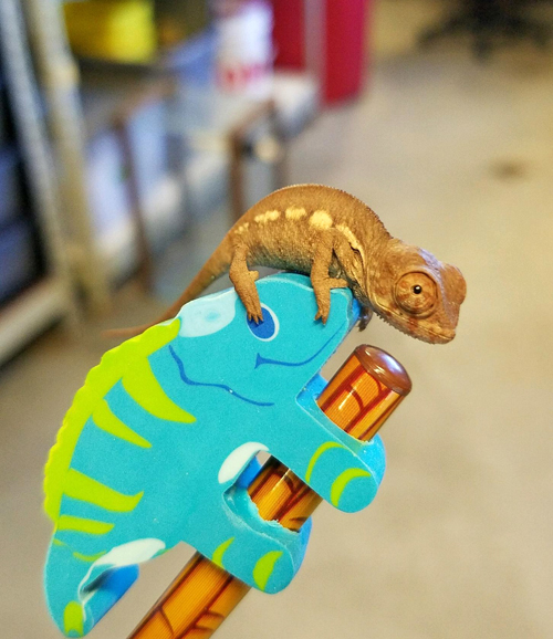 1_Baby Panther Chameleon at the Tennessee Aquarium 3