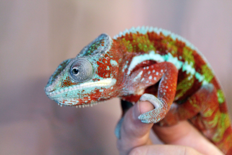 4_Adult Male Panther Chameleon at the Tennessee Aquarium