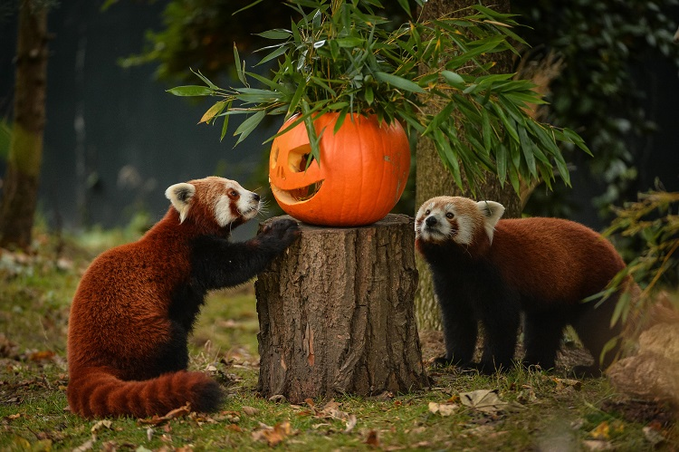 2_Red pandas Jung and Nima get into the Halloween spirit at Chester Zoo on Pumpkin Day