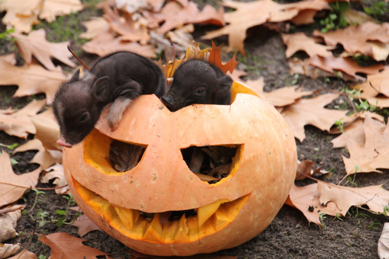 5_Tierpark_Berlin_pigs-in-a-pumpkin