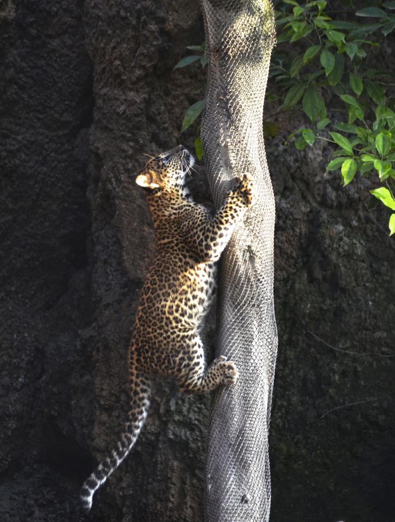 2_BIOPARC Valencia - cachorro de leopardo trepando a un árbol en su primer día en el bosque ecuatorial
