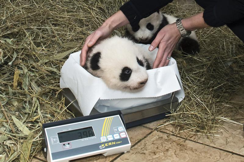 8_Pandas_TGS_Zupanc_19_Ausschnitt