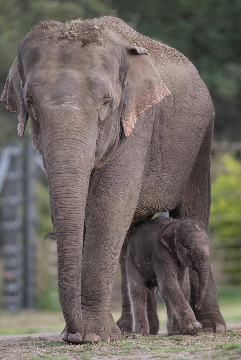 7_Elephant calf at Taronga Western Plains Zoo by Rick Stevens (9)