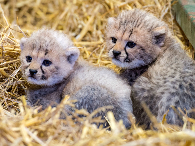 Cheetah cubs sitting at Longleat PIC BNPS