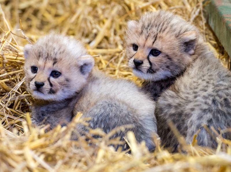 Cheetah cubs sitting at Longleat PIC BNPS