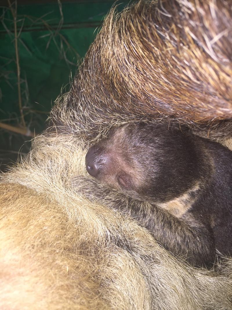 4_Sloth baby 10 11-4-16 Dayle Sullivan-Taylor