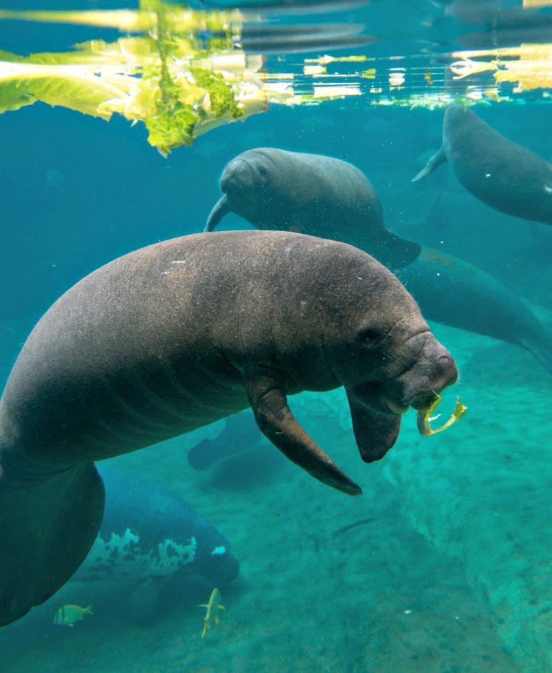 Manatees 9193 - Grahm S. Jones, Columbus Zoo and Aquarium