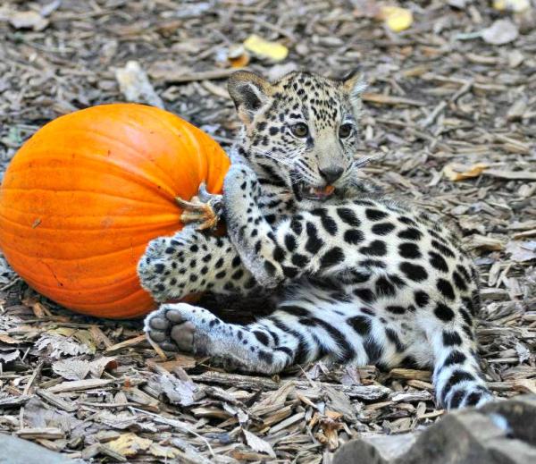 Baby Jaguar Attacks Pumpkins Zooborns
