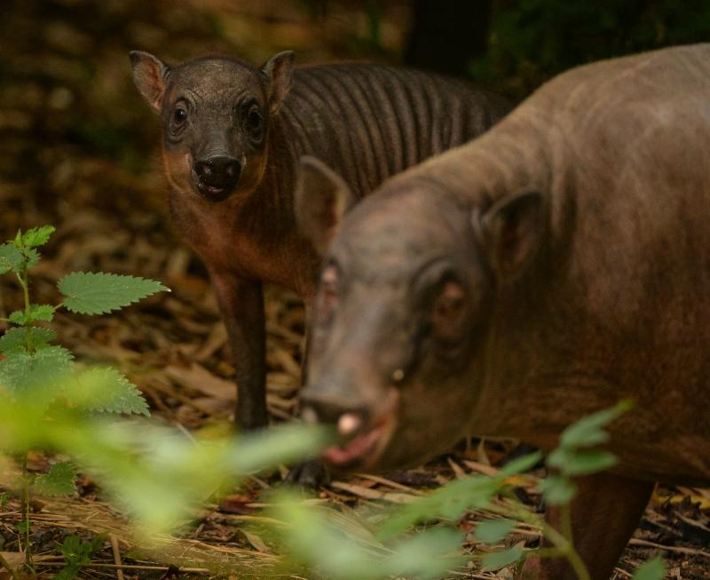 Babirusa piglet and mum Kendari (5)