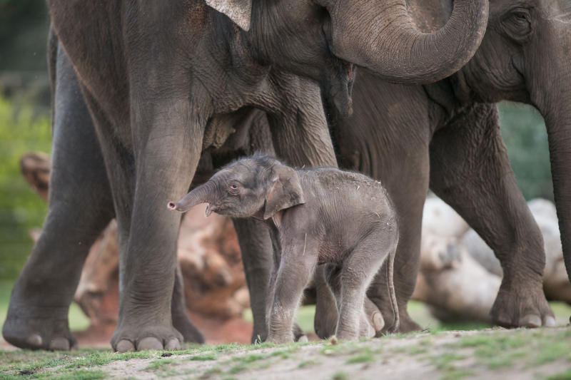 1_Taronga Elephant Calf_by Rick Stevens