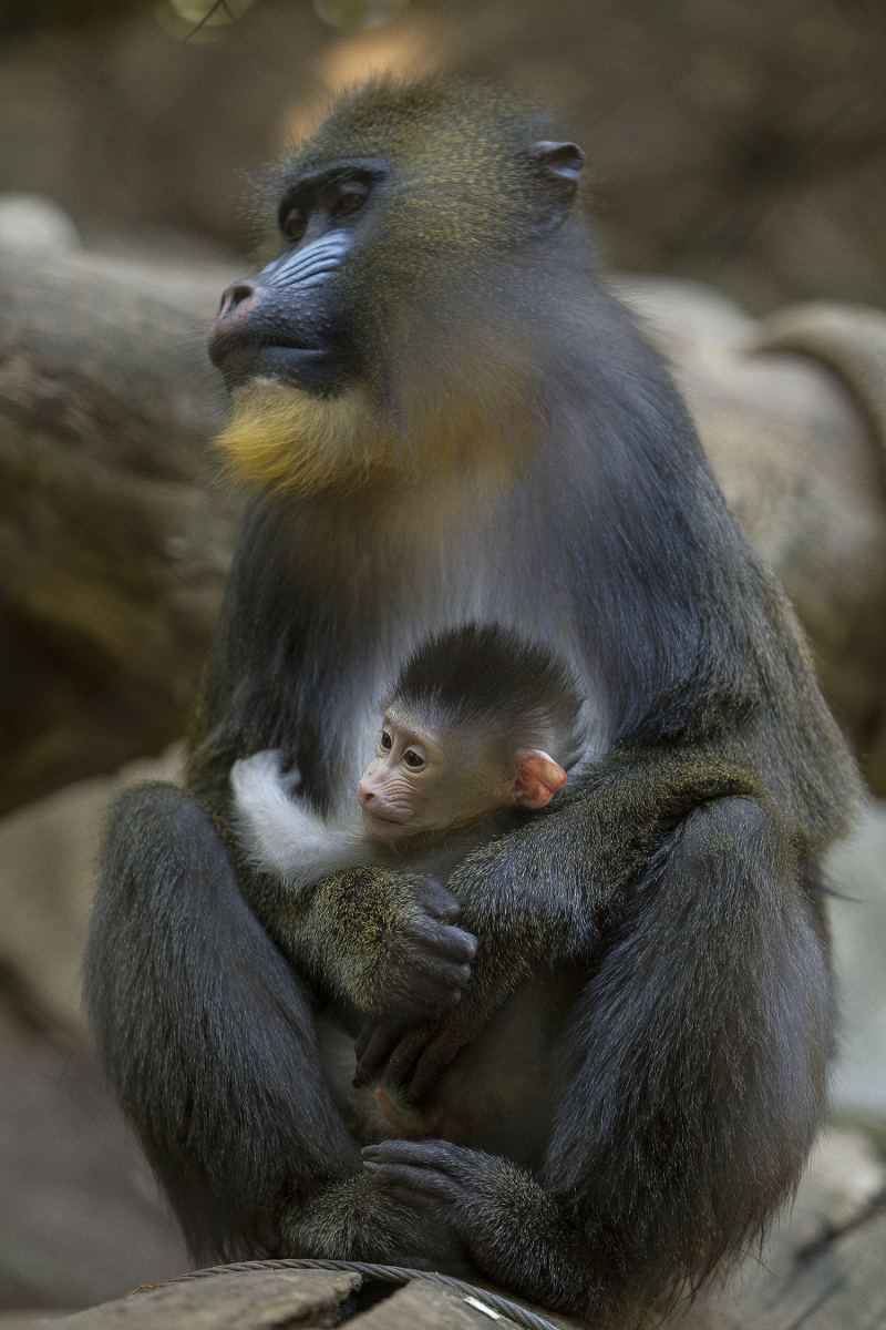 2_Mandril Baby and Mom LG
