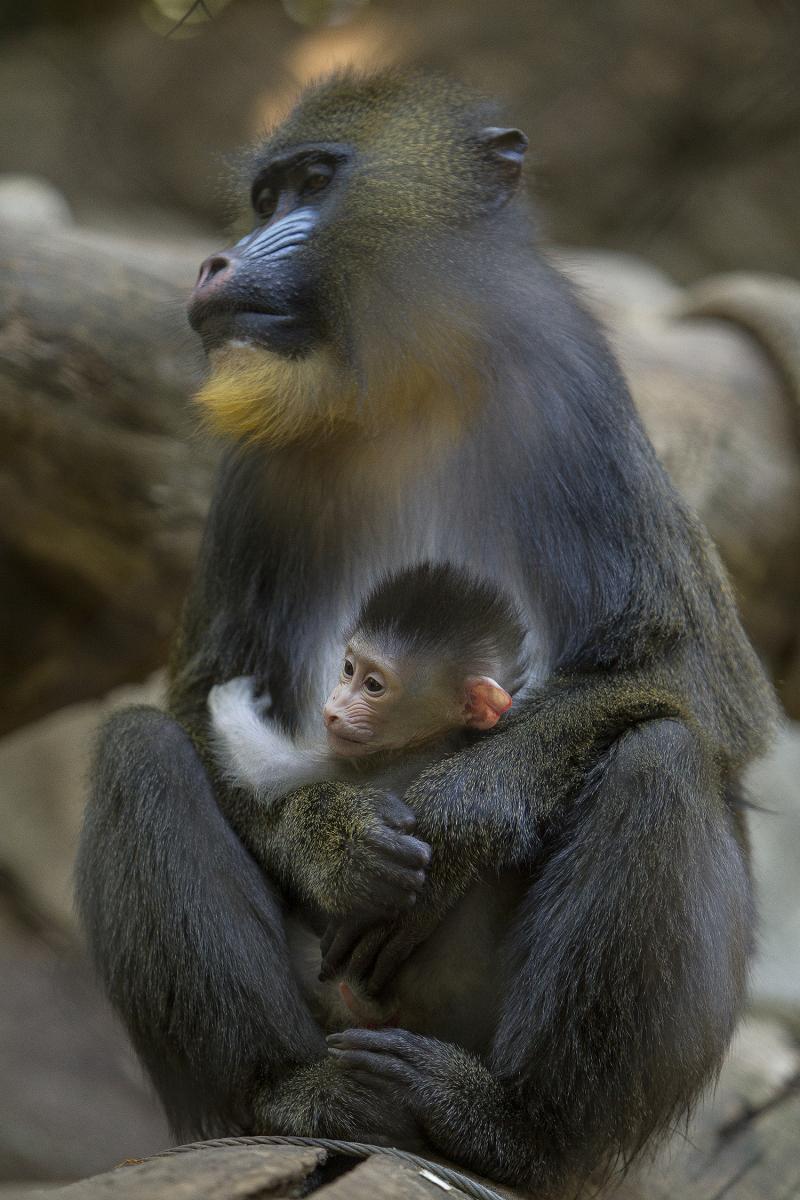 2_Mandril Baby and Mom LG