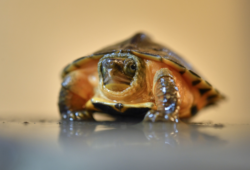 A rare Chinese three-striped box turtle has hatched at Chester Zoo (1)