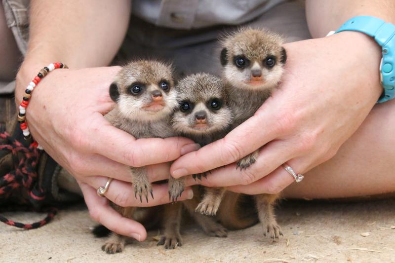 Meerkat Pups 2_Photo by Paul Fahy