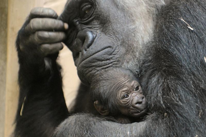 1_Gorilla-Jungtier 07_12_16_AWZ MS_cm (1) - Presse