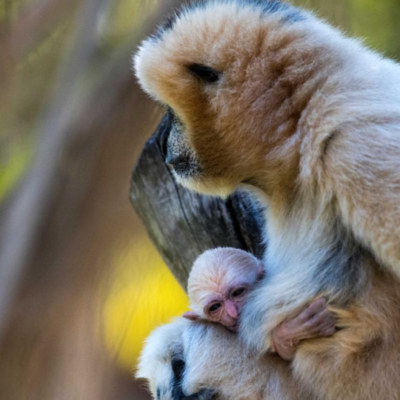 2_Adelaide Zoo gibbon baby