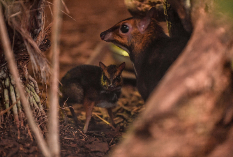 6_Rare Philippine mouse deer, stood with mum Rita, born in UK first at Chester Zoo (24)