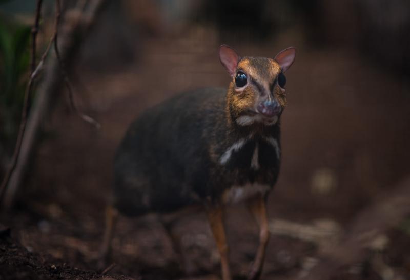 8_Philippine mouse deer mum Rita (1)
