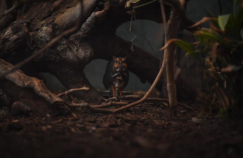 9_Philippine mouse deer mum Rita (8)