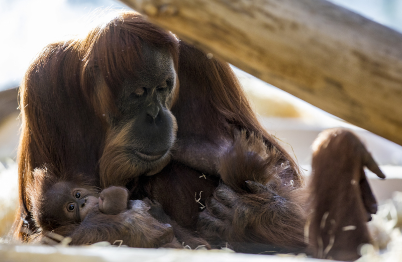4_OrangUtanMatra+Nachwuchs_TierparkHellabrunn2016_MarcMüller (2)