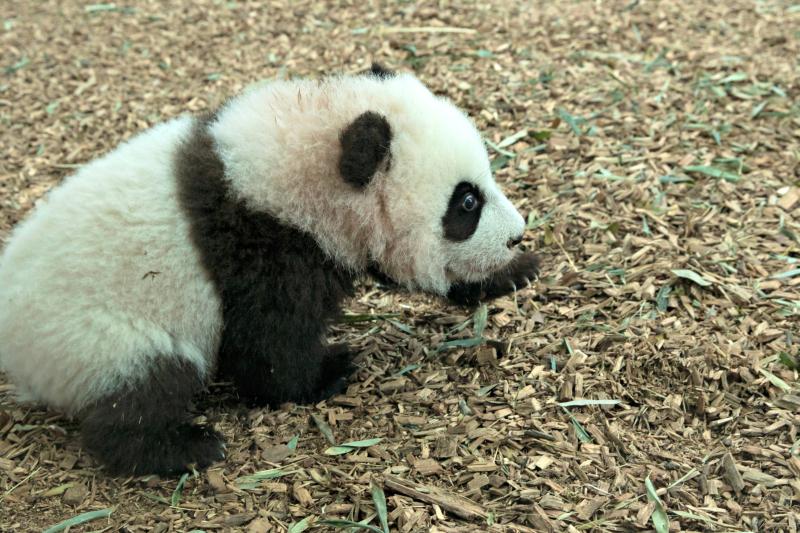 Panda_cubs2016_161227_dayroom_ZA_5922