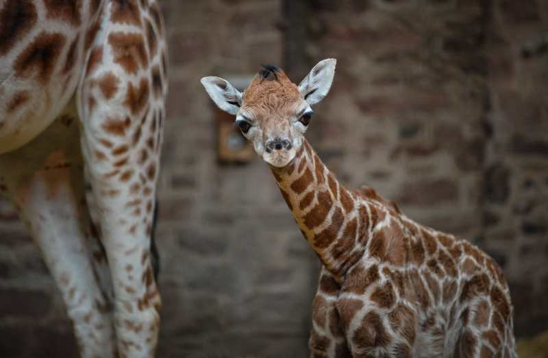 """Keepers at Chester Zoo are celebrating """"the best Christmas gift they could have wished for"""" following the birth of a rare Rothschild's giraffe calf (20)"""