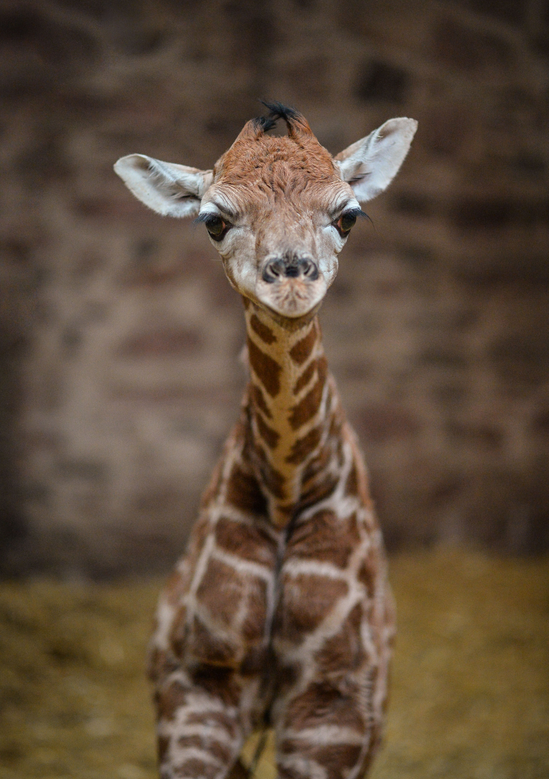"""Keepers at Chester Zoo are celebrating """"the best Christmas gift they could have wished for"""" following the birth of a rare Rothschild's giraffe calf (24)"""