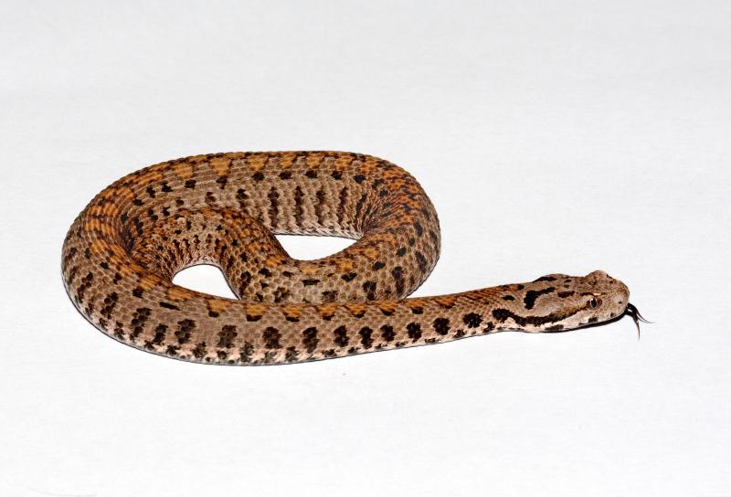3_Los Angeles Zoo Baby Armenian Viper by Tad Motoyama