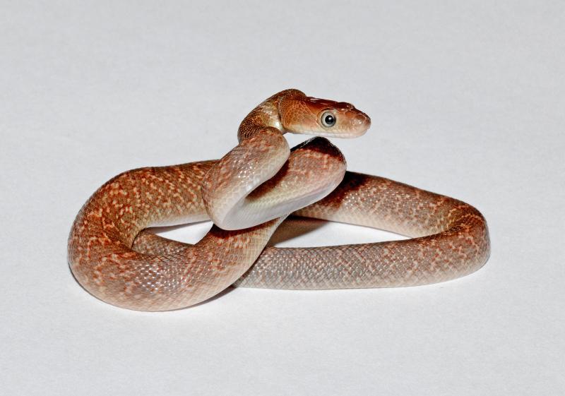7_Los Angeles Zoo Baby Baja Rat Snake by Tad Motoyama