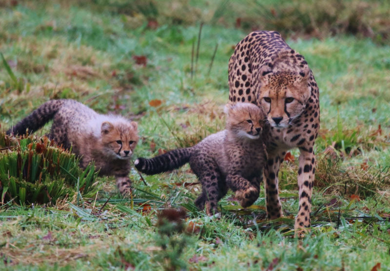 2_Cheetah cubs Winston and Poppy with mum Wilma at Longleat Safari Park PIC Caleb Hall (3000x2089)