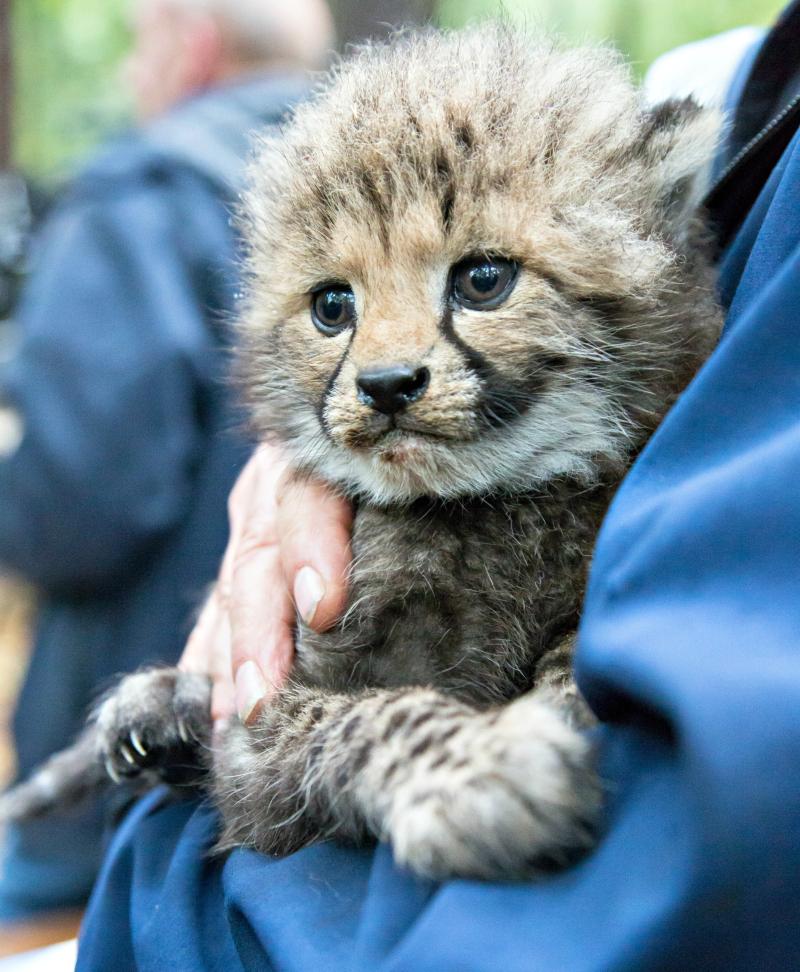 Cheeta-zesling5