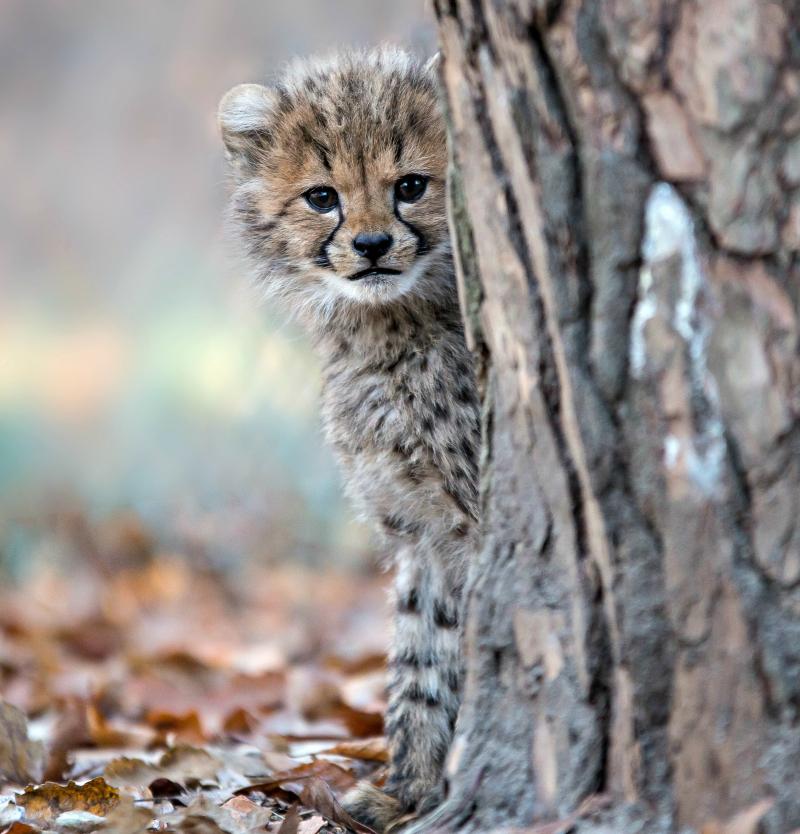 Cheetazesling 6