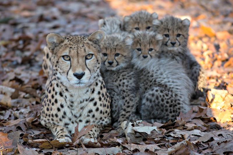 Cheetazesling 3