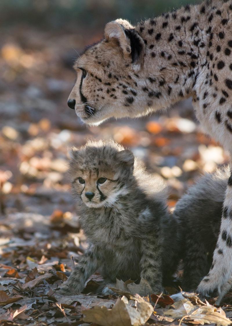 Cheetazesling 5