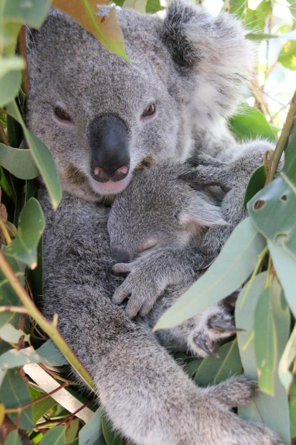 Two Koala Joeys Emerge at Taronga Zoo - ZooBorns
