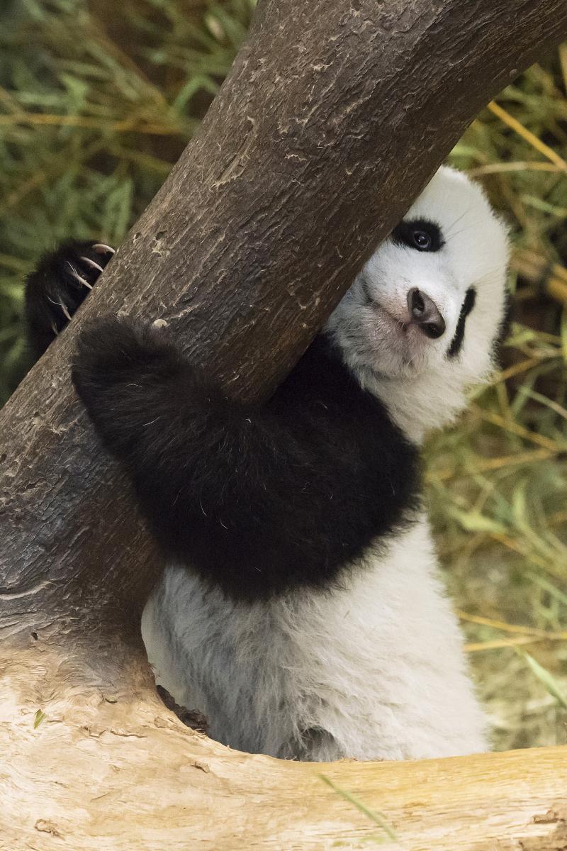 8_Pandas_TGS_Zupanc_10