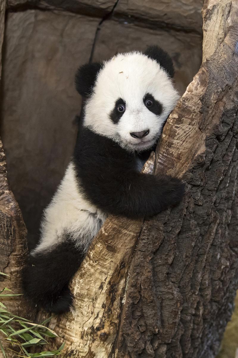 9_Pandas_TGS_Zupanc_12