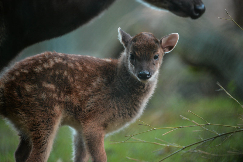 Endangered Philippine spotted deer born at Chester Zoo (14)