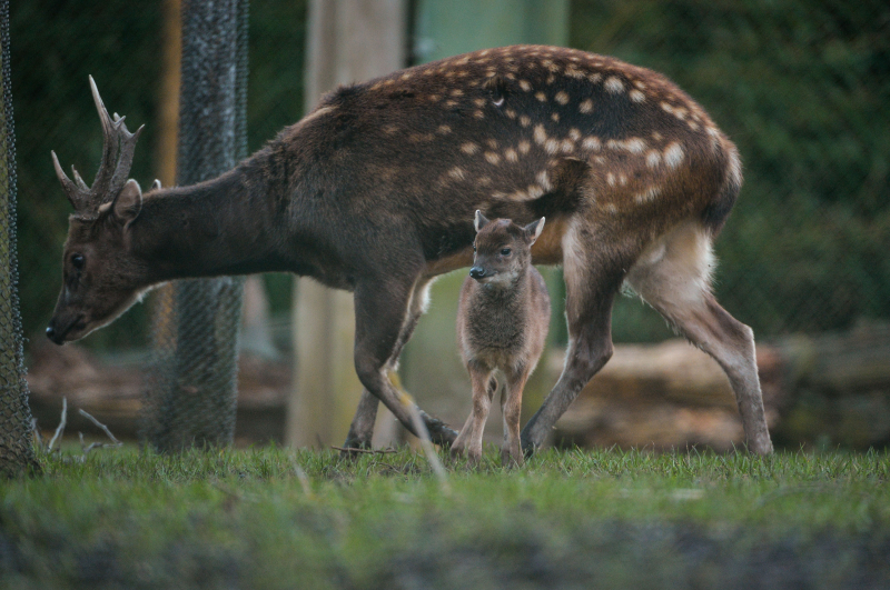 Endangered Philippine spotted deer born at Chester Zoo (19)