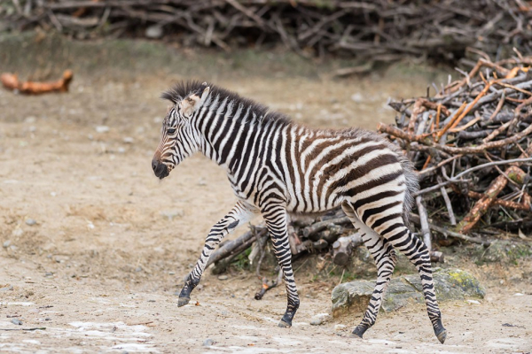 Zoo Basel's Zebra Filly Plays With Purpose