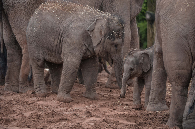 It's a boy! Second rare Asian elephant born in a month sparks joy at Chester Zoo (4)
