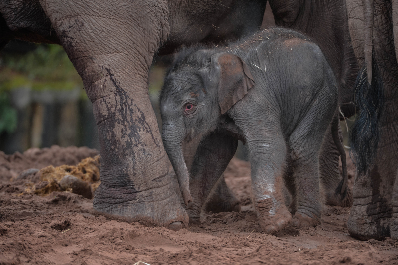 It's a boy! Second rare Asian elephant born in a month sparks joy at Chester Zoo (20)