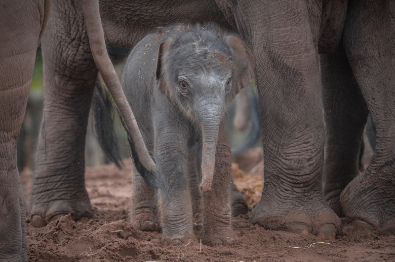 It's a boy! Second rare Asian elephant born in a month sparks joy at Chester Zoo (42)