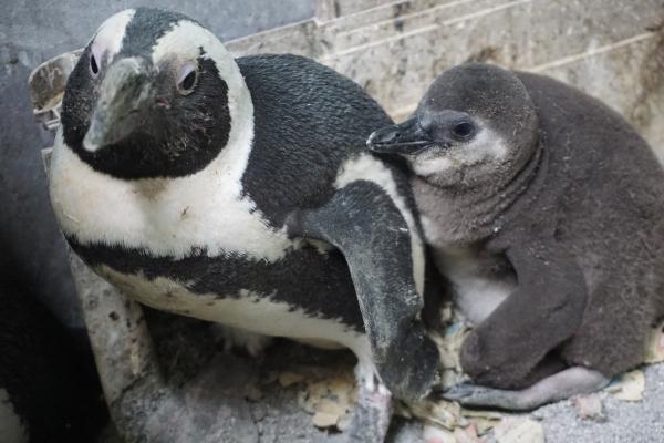Cheyenne Mountain Zoo Celebrates New Penguin Chick Zooborns