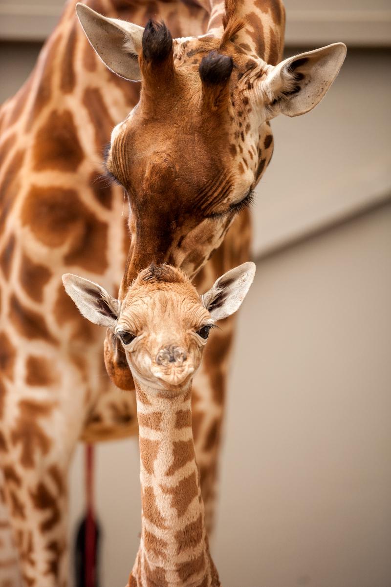4_fotolink-girafs-6