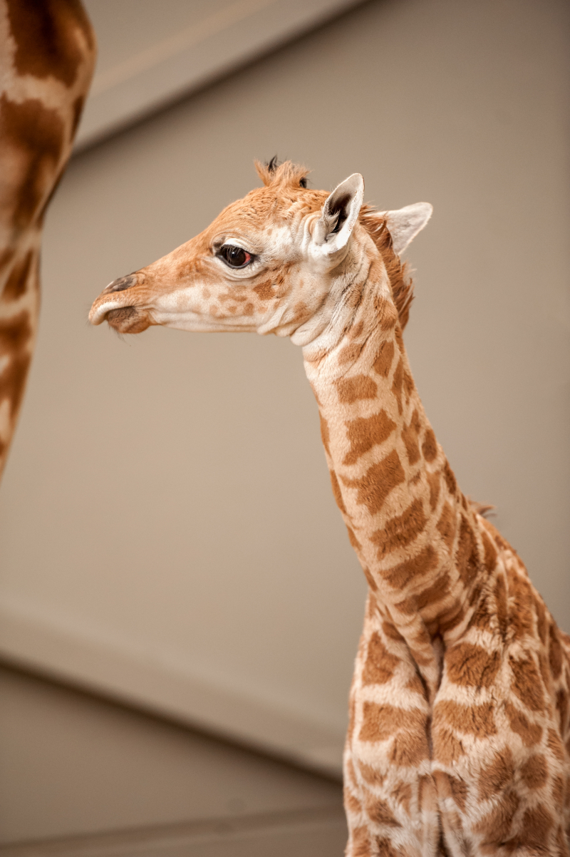 5_fotolink-girafs-3