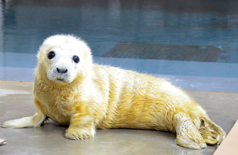 Grey_seal_pup_day_2