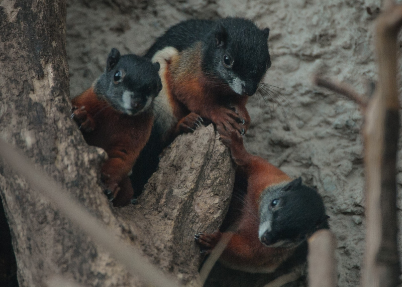 1_Prevost's squirrel triplets born in 'Chester Zoo first' (25)